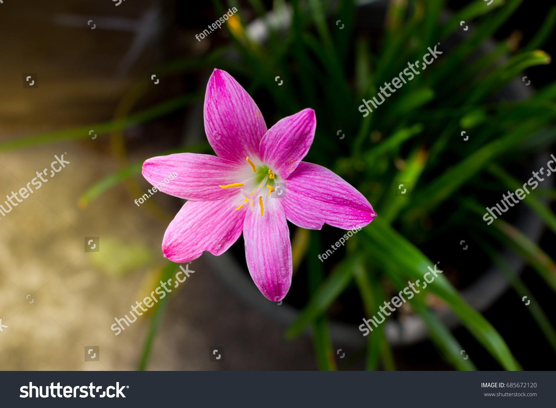 Pink purple rain lily zephyranthes flowerrainflower zephyr lily id 685672120 izmirmasajfo