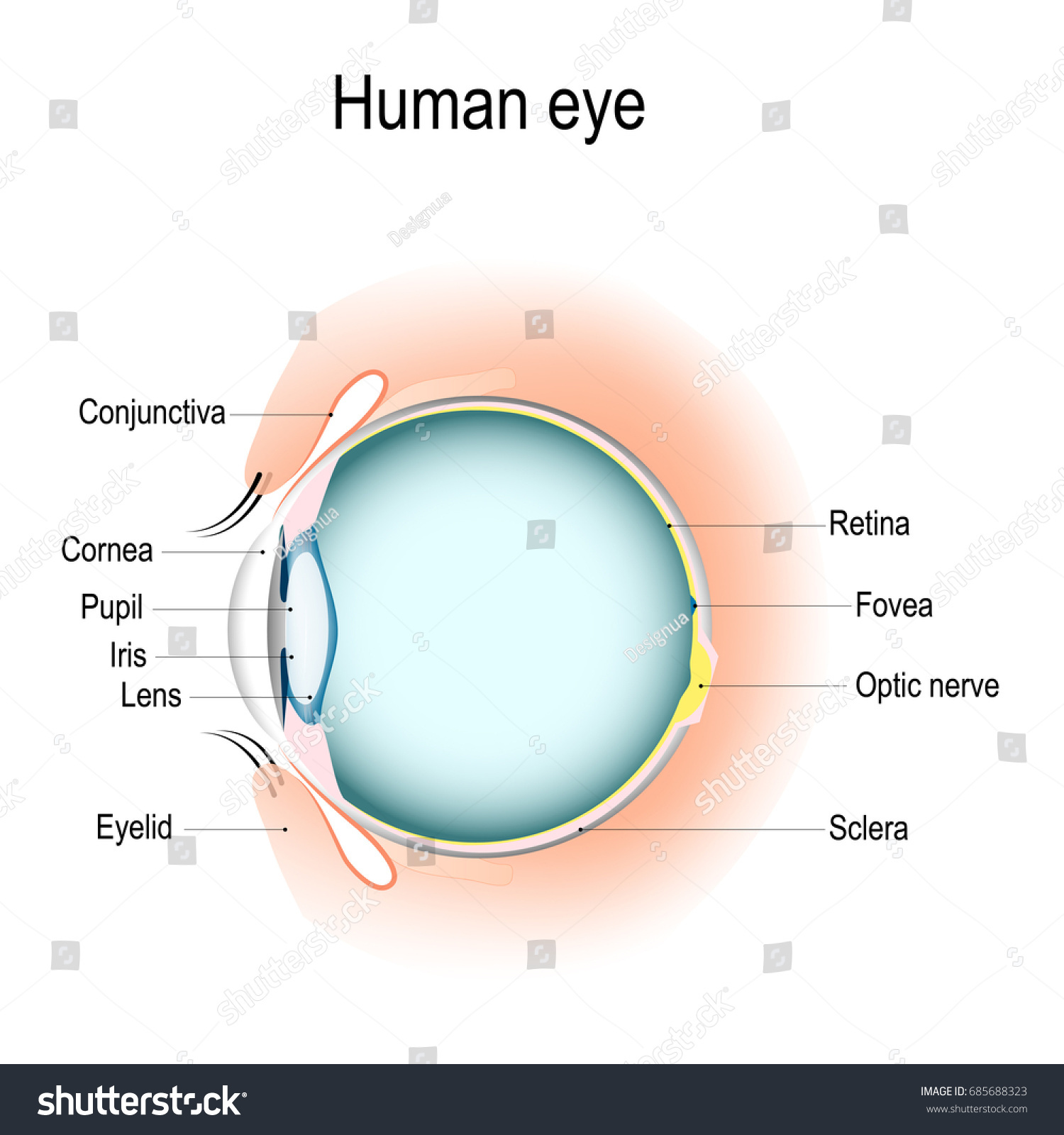 Anatomy Human Eye Vertical Section Eye Stockillustration 685688323