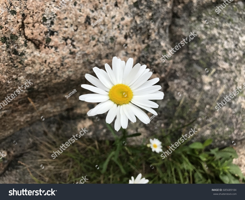 Daisy Flower Growing Among Rocks Stock Photo Edit Now 685689184