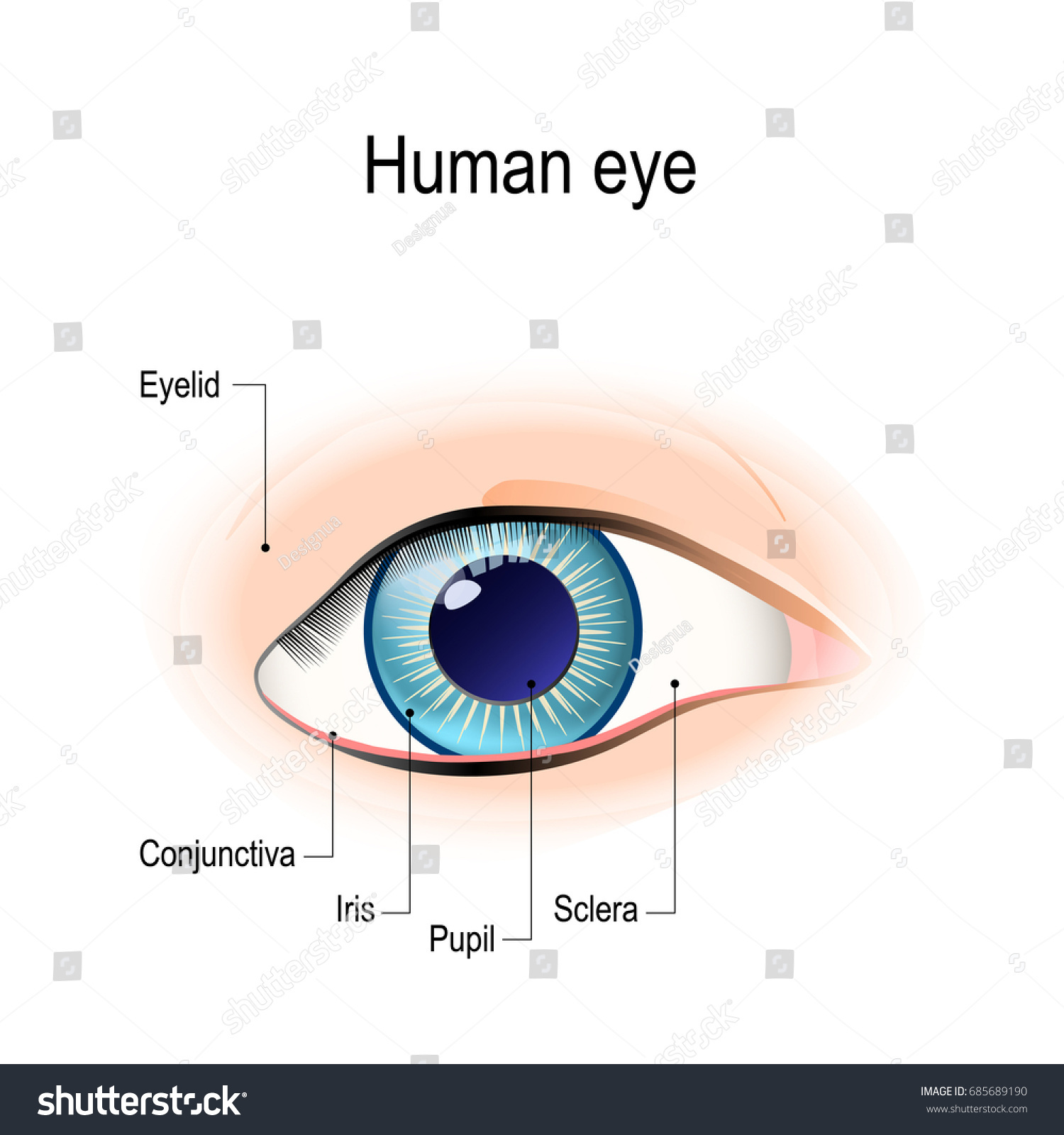 Anatomy Human Eye Front View External Stock Illustration 685689190 ...