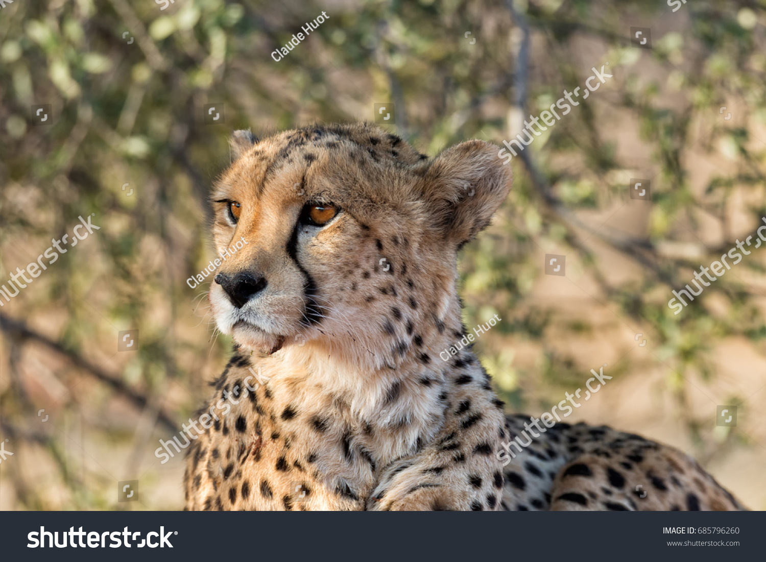 Cheetah (Acinonyx jubatus) resting under a tree in Okonjima Nature Reserve, Namibia.