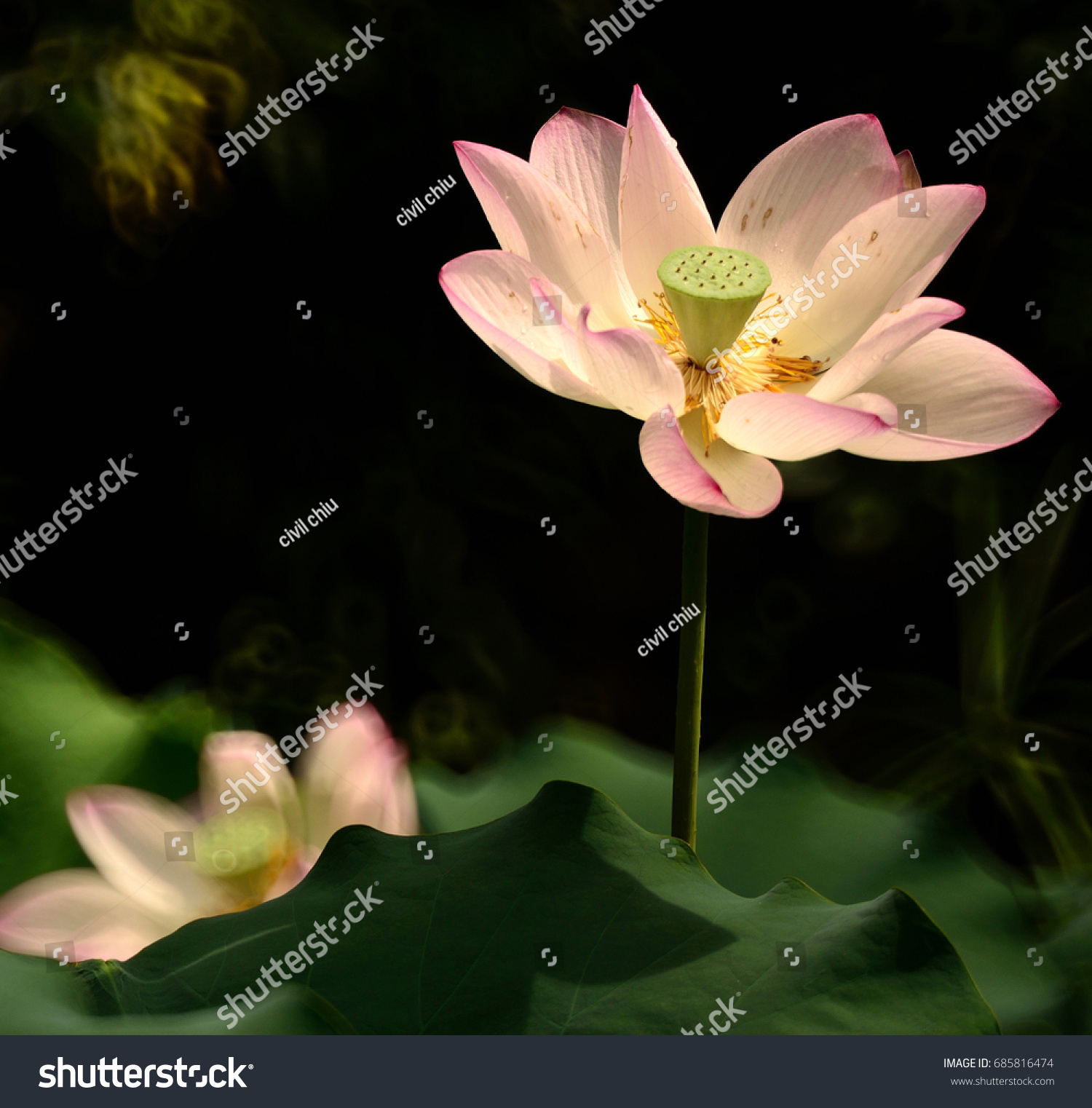 Lotus Flower Grow Sunny Day Reflection Stock Photo Edit Now