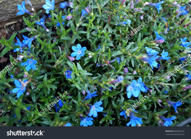 Carpet Tiny Blue Flowers Garden Stock Photo Edit Now 685836316