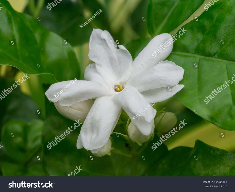 White Of Jasmine Flower Ez Canvas