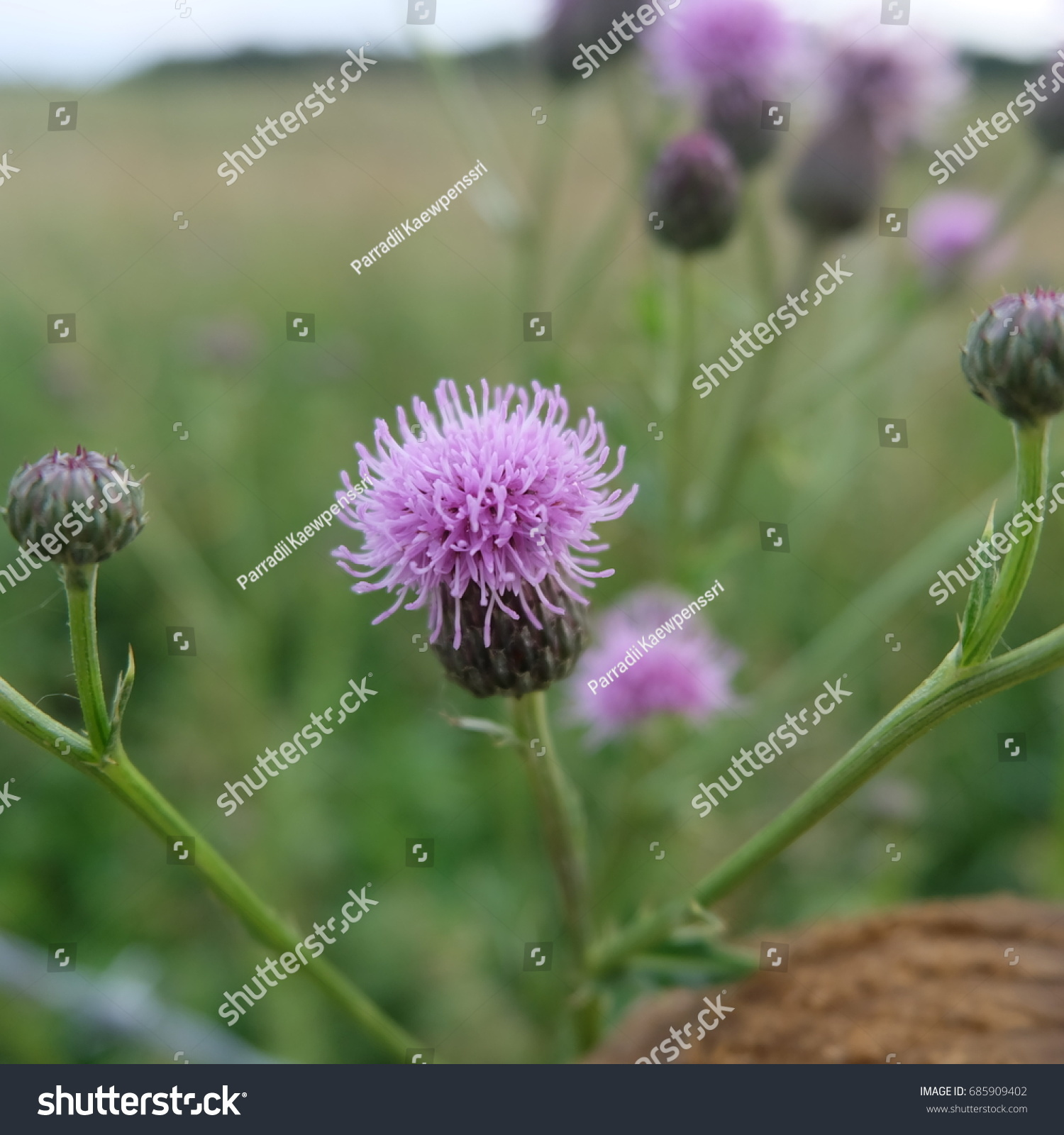 Pink Spiky Thistle Flower In The Field Ez Canvas