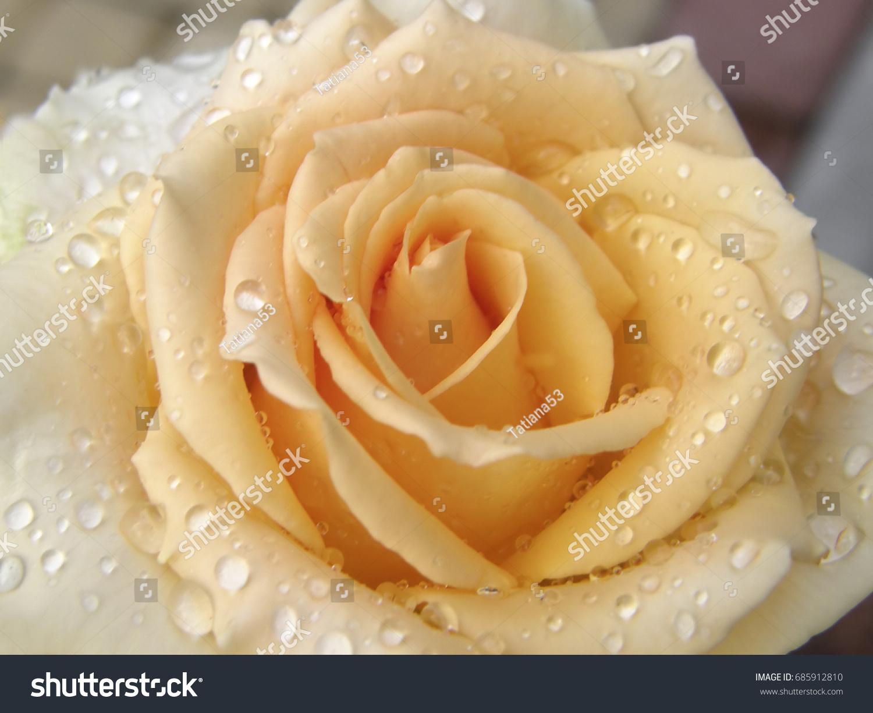 Rose flower flowers very beautiful image stock photo edit now rose flower flowers very beautiful image izmirmasajfo