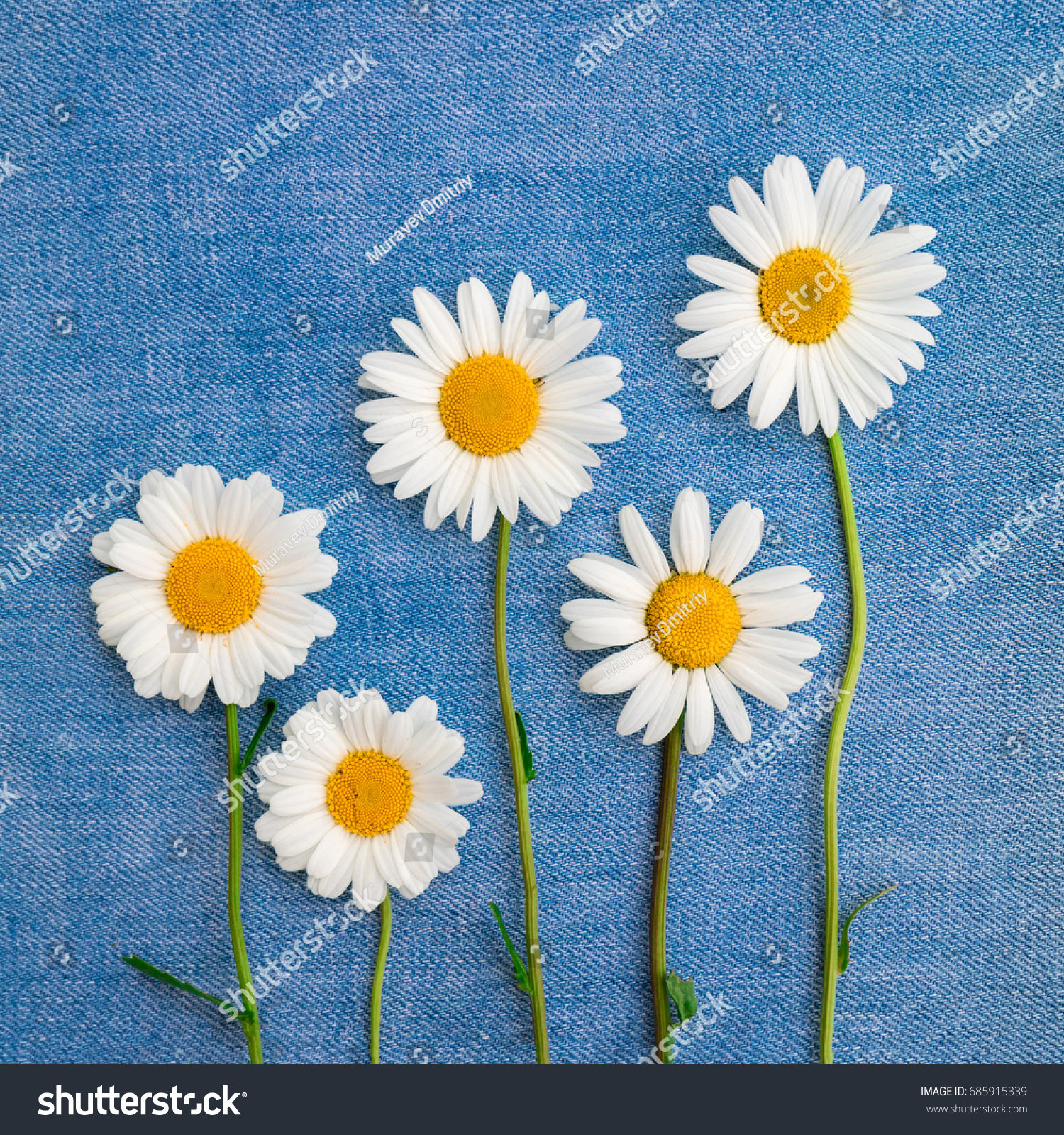 Composition Five Daisies Flowers Blue Denim Stock Photo Royalty