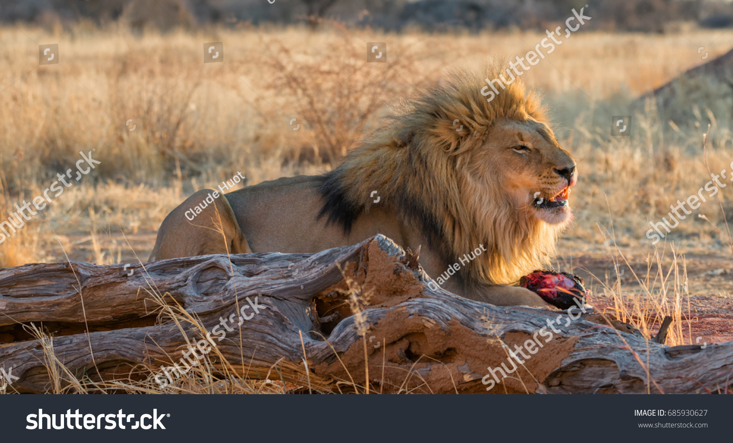 Large male lion (Panthera leo) is feeding on a piece of meat at sunset in Okonjima, Namibia