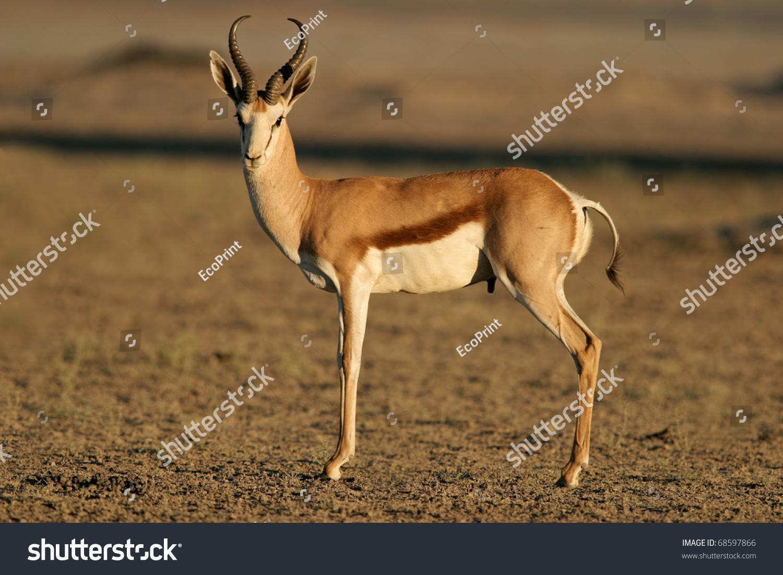 A Springbok Antelope (Antidorcas Marsupialis), Kalahari ...