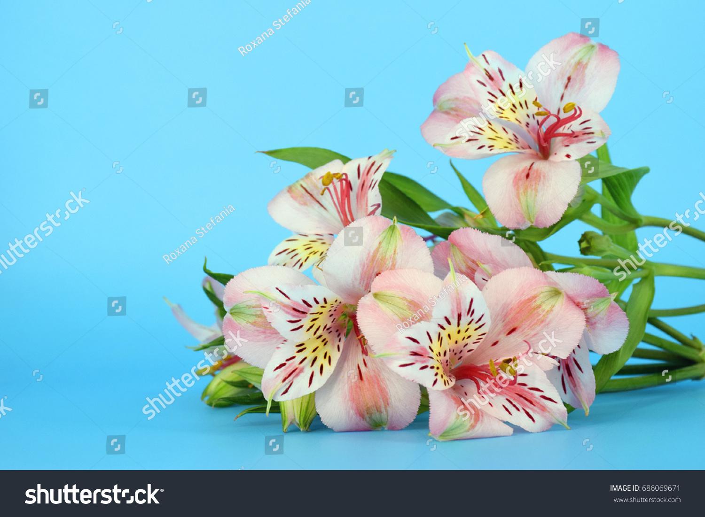 Alstroemeria flowers on blue background stock photo edit now alstroemeria flowers on blue background izmirmasajfo