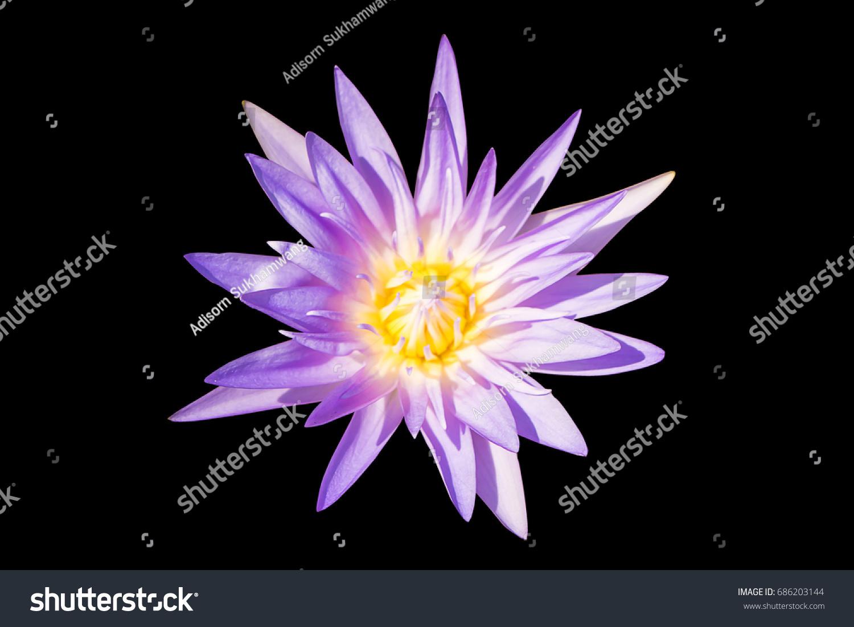 Purple Lotus Flower Yellow Pollen On Stock Photo Edit Now