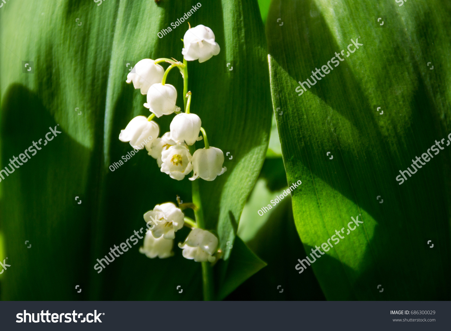 Lily of the valley convallaria majalis white flowers in garden on id 686300029 izmirmasajfo