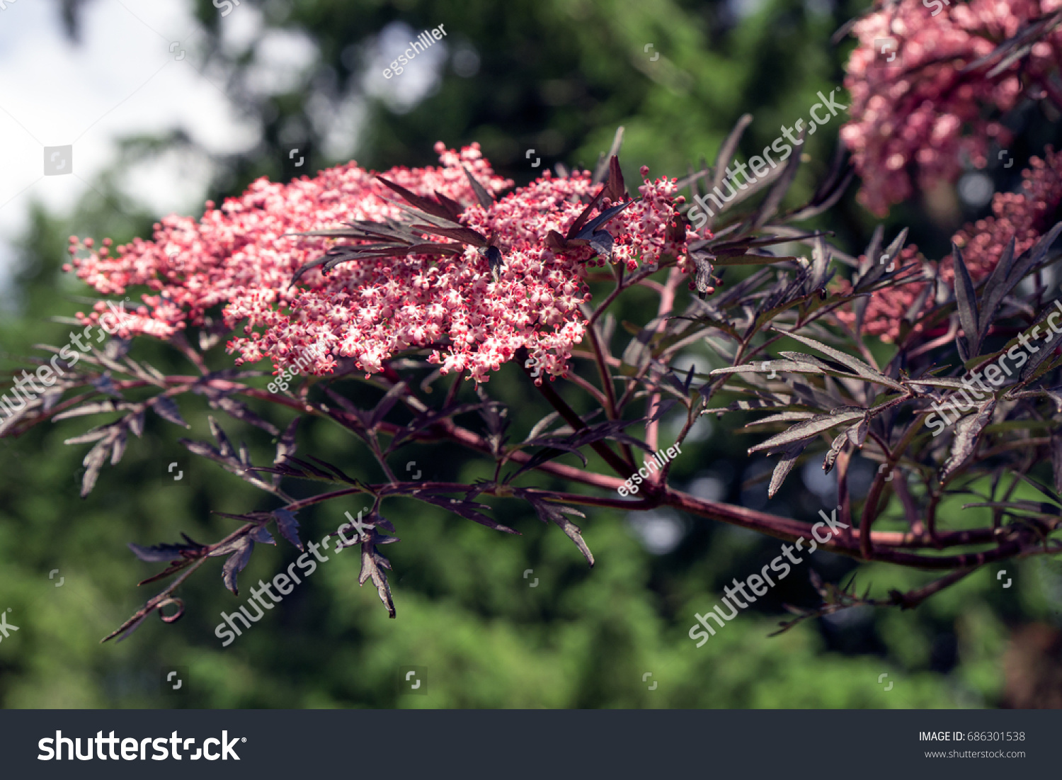 Sambucus Nigra Eva Blooming Blackpurple Leaves Stock Photo Royalty