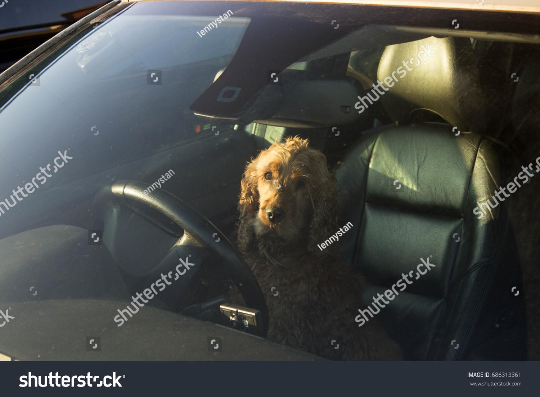 Dog Inside of Car Behind Steering Wheel