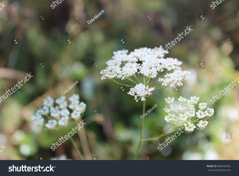 White Flower Morning Glory Good Morning Stock Photo Edit Now