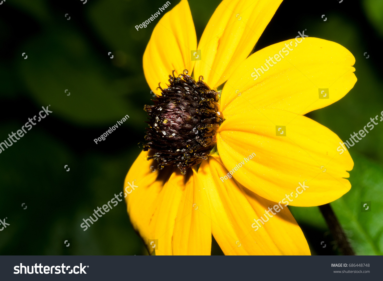 A Flower With Bright Yellow Petals And A Dark Brown Center Macro