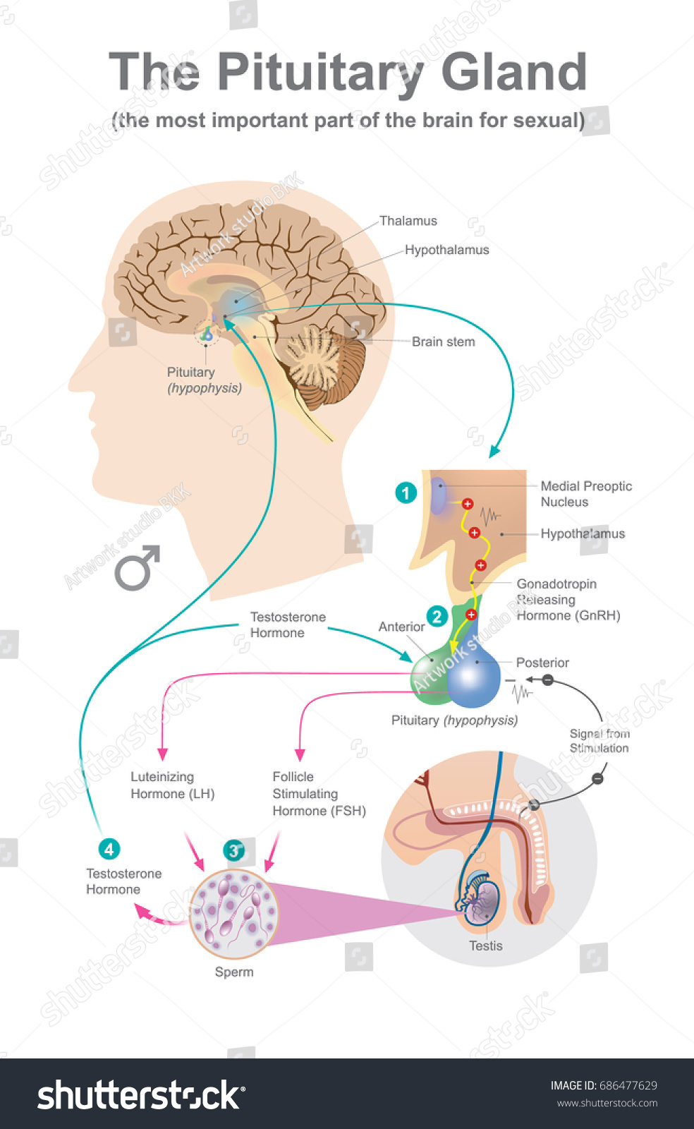 Pituitary Gland Anatomy Human Vector Graphic Stock Vector (2018 ...