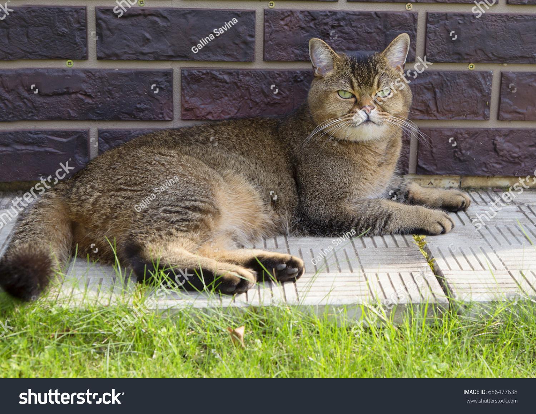 british breed cats the british short stock photo 686477638