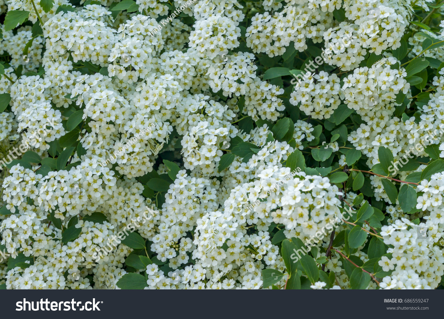 Background blooming small white flowers on stock photo edit now background of blooming small white flowers on bush mightylinksfo