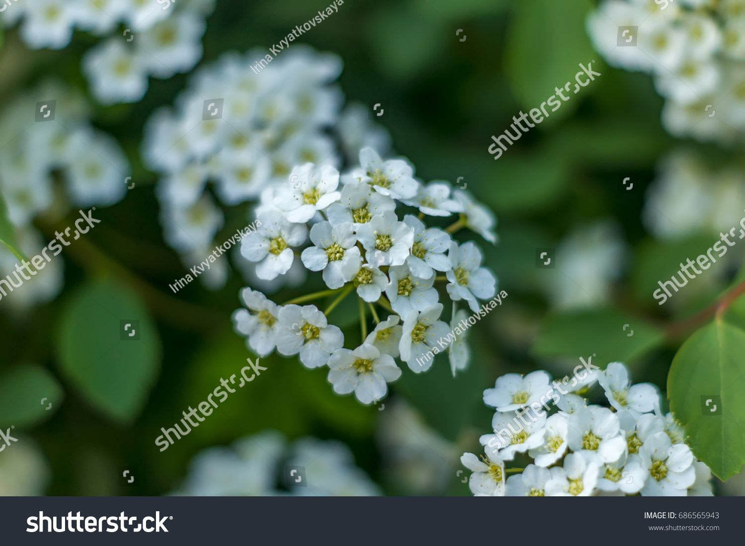 Closeup of small white flowers on bush floral background ez canvas id 686565943 mightylinksfo