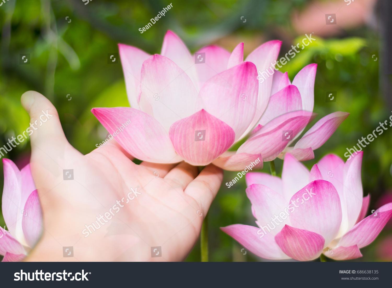 Beautiful lotus flower symbol buddhahand touch stock photo royalty beautiful lotus flower is the symbol of the buddhahand touch the lotus or water izmirmasajfo Images