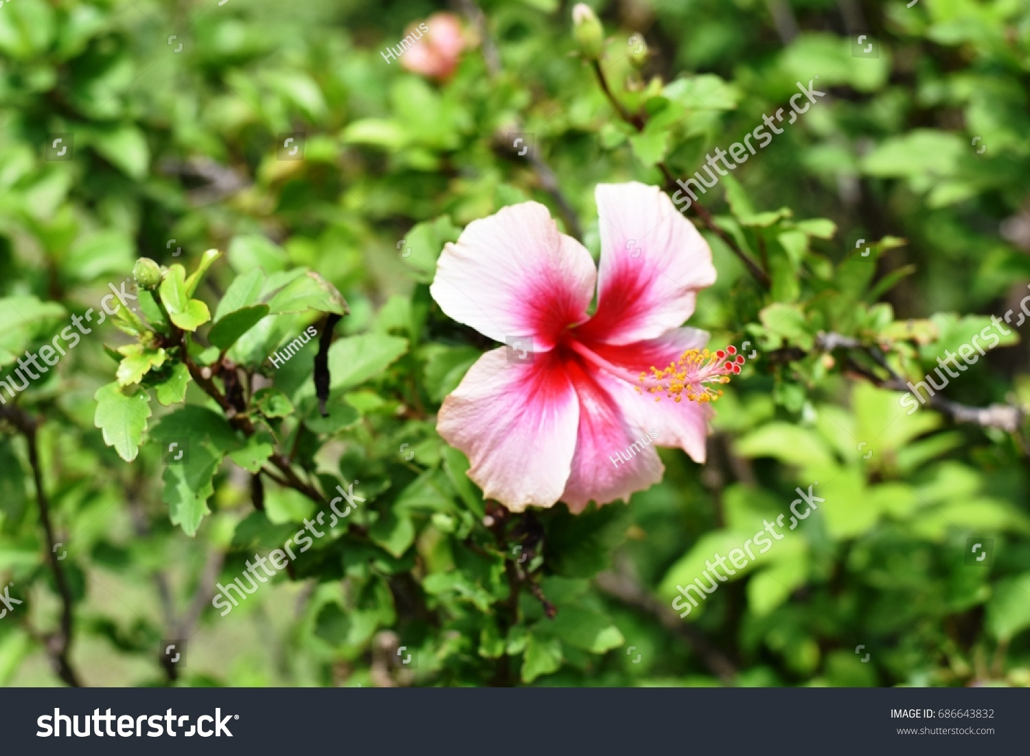 Various color chinese rose chinese hibiscus stock photo 686643832 various color of chinese rose or chinese hibiscus scientific name hibiscus rosa sinensis izmirmasajfo Image collections