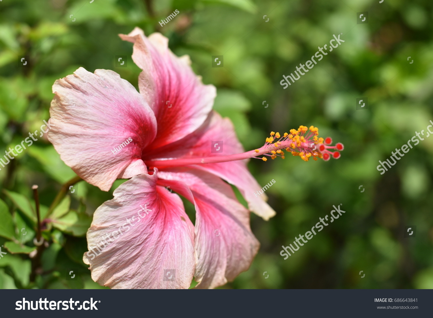 Various Color Chinese Rose Chinese Hibiscus Stock Photo Edit Now