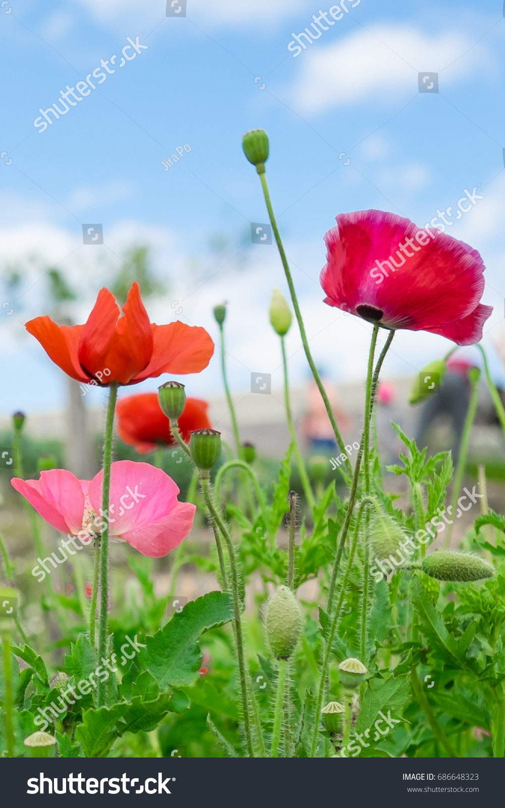 Orange Pink Red Poppy Flowers Growing Stock Photo Royalty Free
