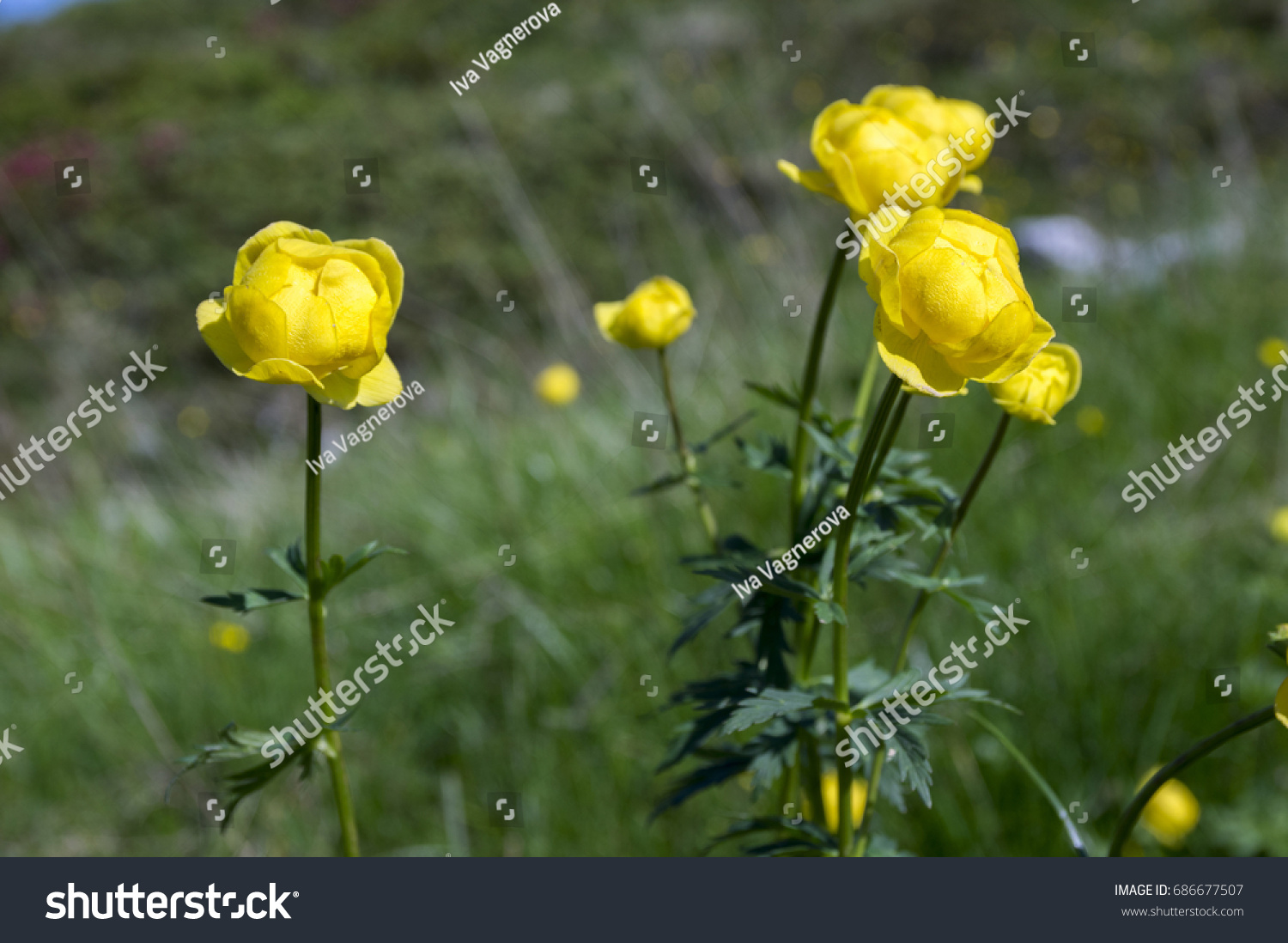 Trollius Altissimus Yellow Mountain Flowers Bloom Stock Photo Edit