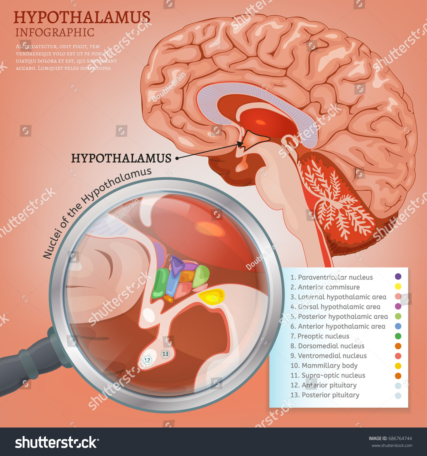 Hypothalamus Infographic Image Detailed Anatomy Human Stock Vector