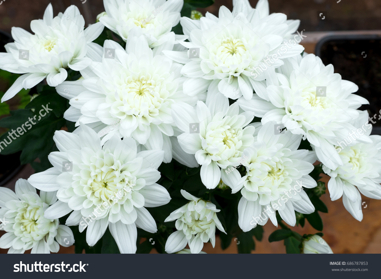 Dendranthemum grandifflora white mum flower background stock photo dendranthemum grandifflora white mum flower for background mightylinksfo