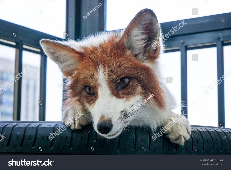 marble fox pet 8890 loadtve