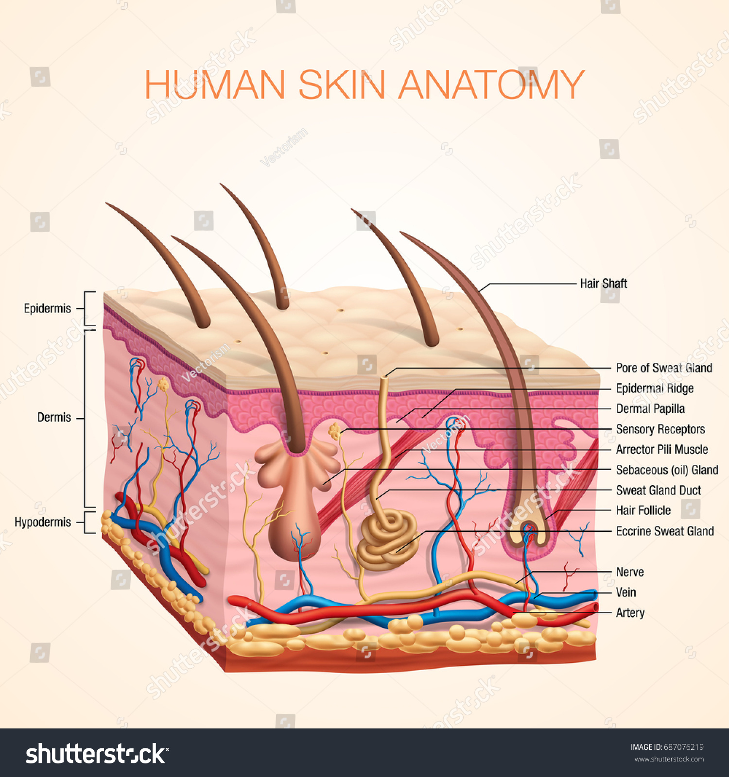 Human Body Skin Anatomy Vector Illustration Stock Vector Royalty