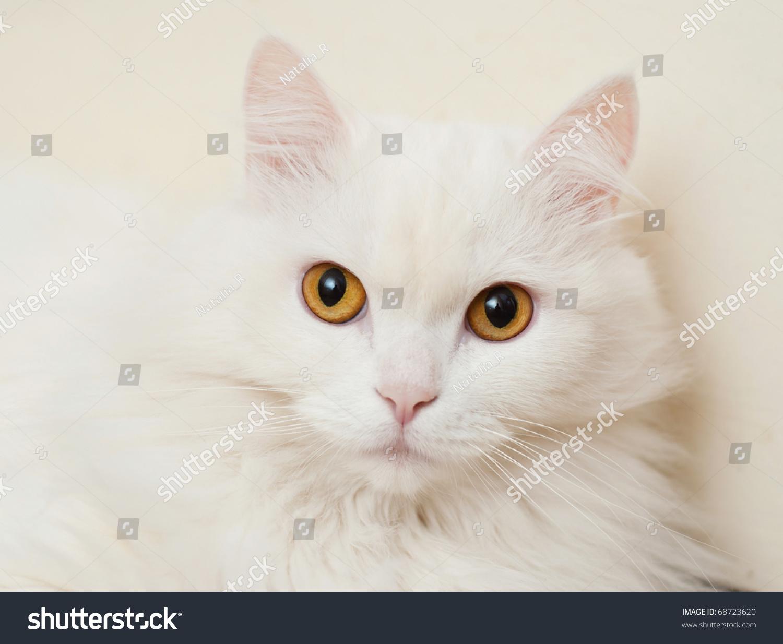 White Cat With Orange Eyes Stock Photo 68723620 : Shutterstock White Cat With Orange Eyes