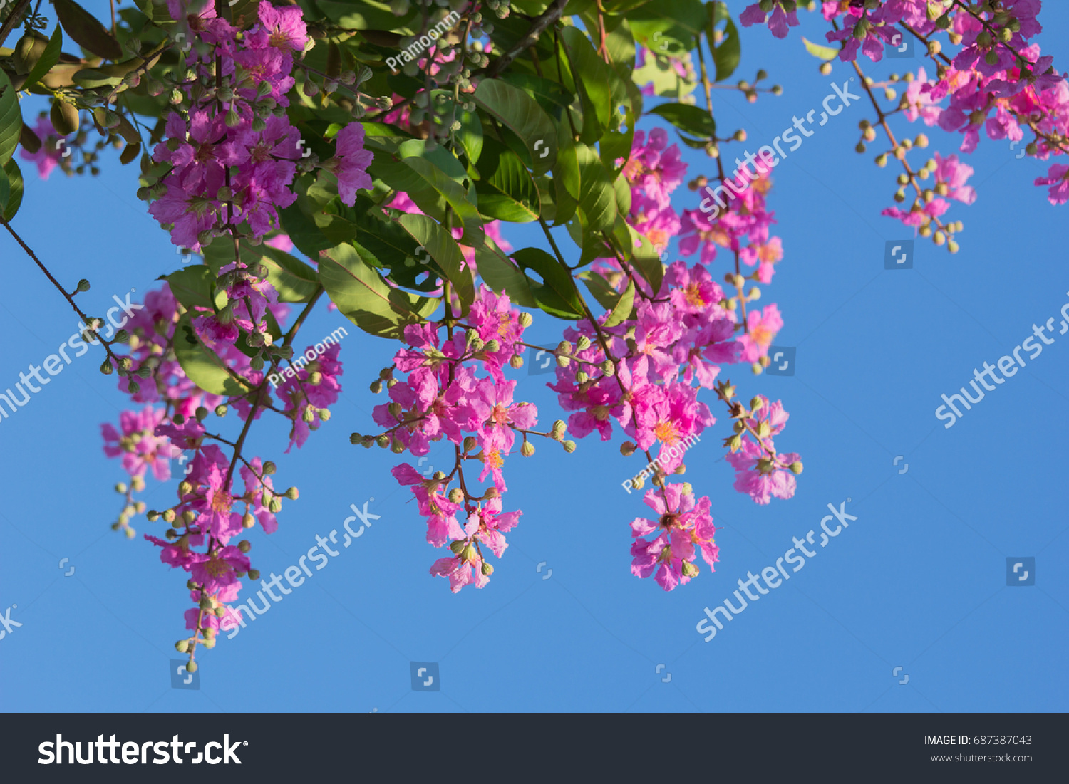 Purple flowers lagerstroemia floribunda on tropical stock photo purple flowers lagerstroemia floribunda on tropical tree with blue sky background izmirmasajfo