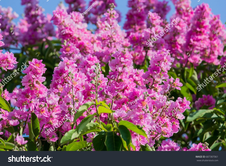 Purple Flowers Lagerstroemia Floribunda On Tropical Tree With Blue