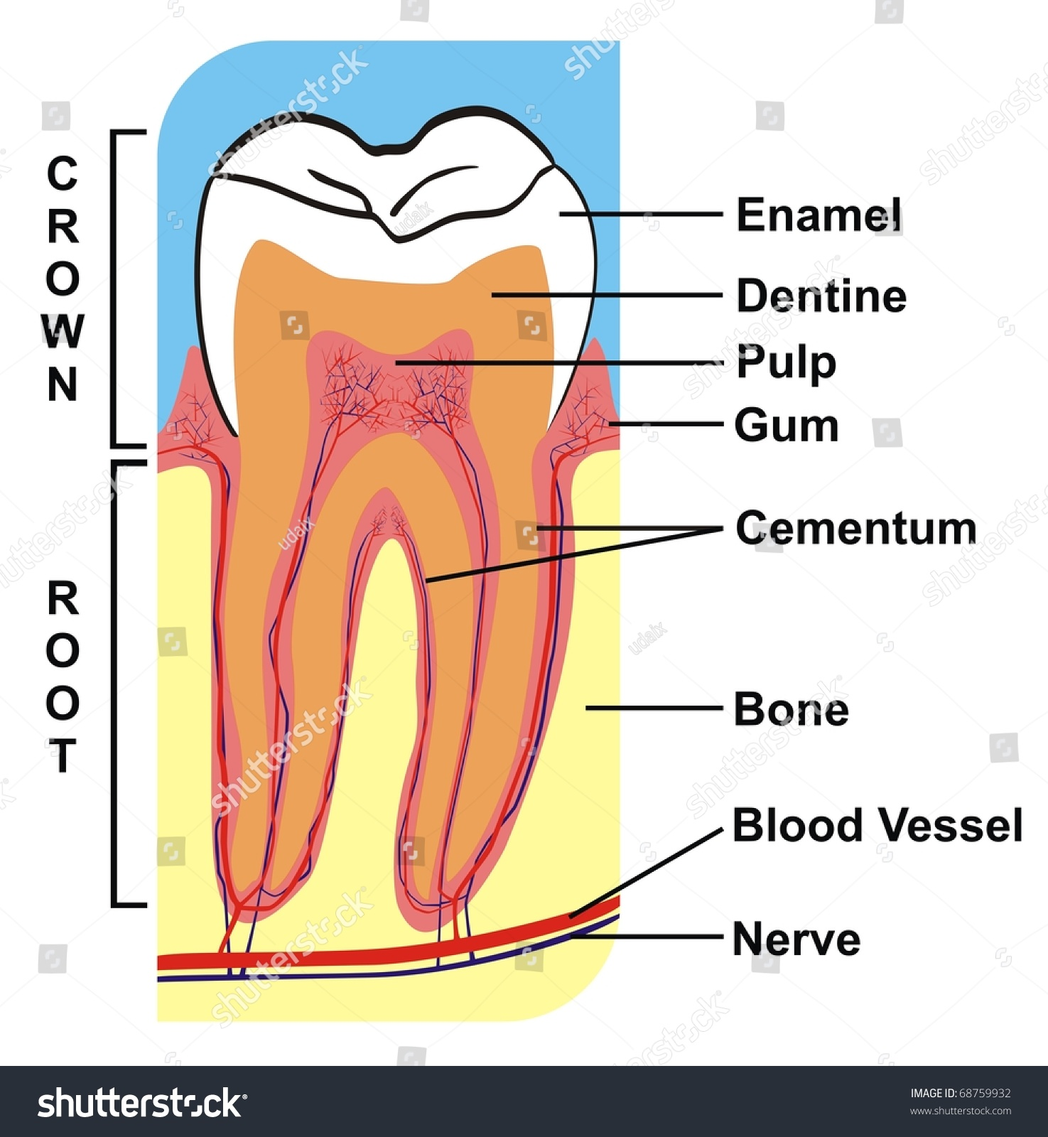 Royalty Free Stock Illustration Of Cross Section Tooth Crown Root