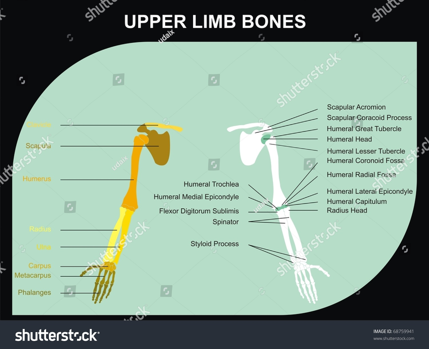 upper limb bones human body all stock illustration 68759941