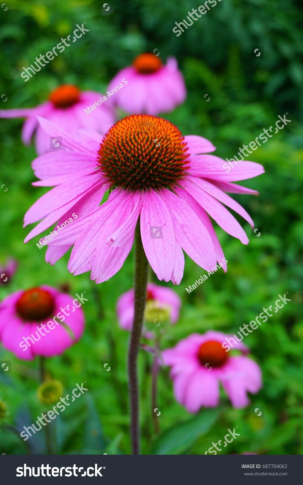 Echinacea Purpurea Pink White Coneflower Flower Stock Photo Royalty