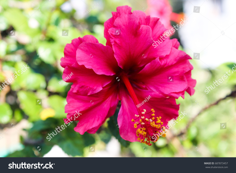 Hibiscus flowerjasmine flower india stock photo edit now 687873457 hibiscus flowerjasmine flower in india izmirmasajfo