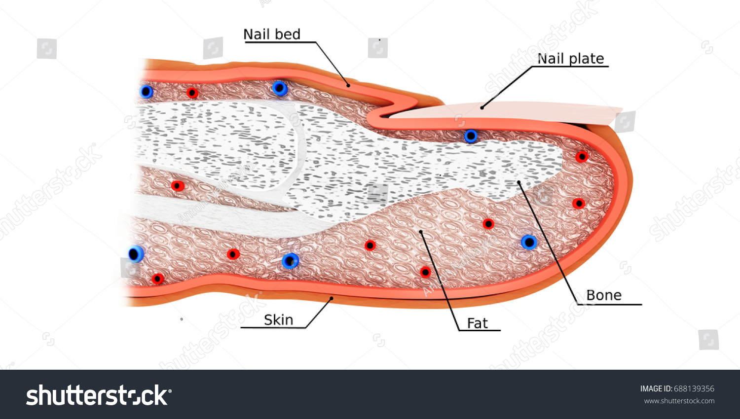 Finger Anatomy 3 D Model Stock Illustration 688139356 Shutterstock