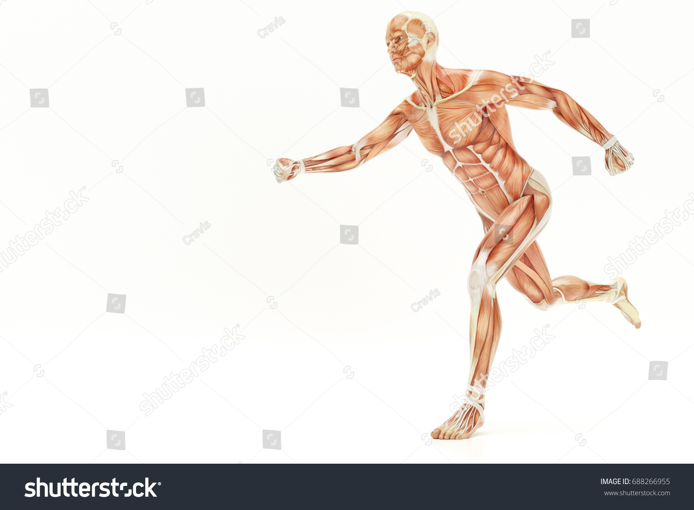 Anatomy Running Human Body Muscles 3 D Stock Illustration 688266955 ...