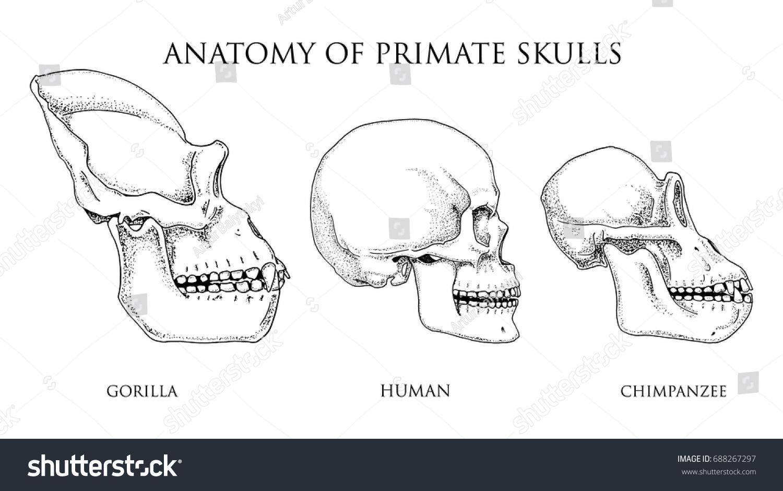 Human Chimpanzee Gorilla Biology Anatomy Illustration Stock Vector