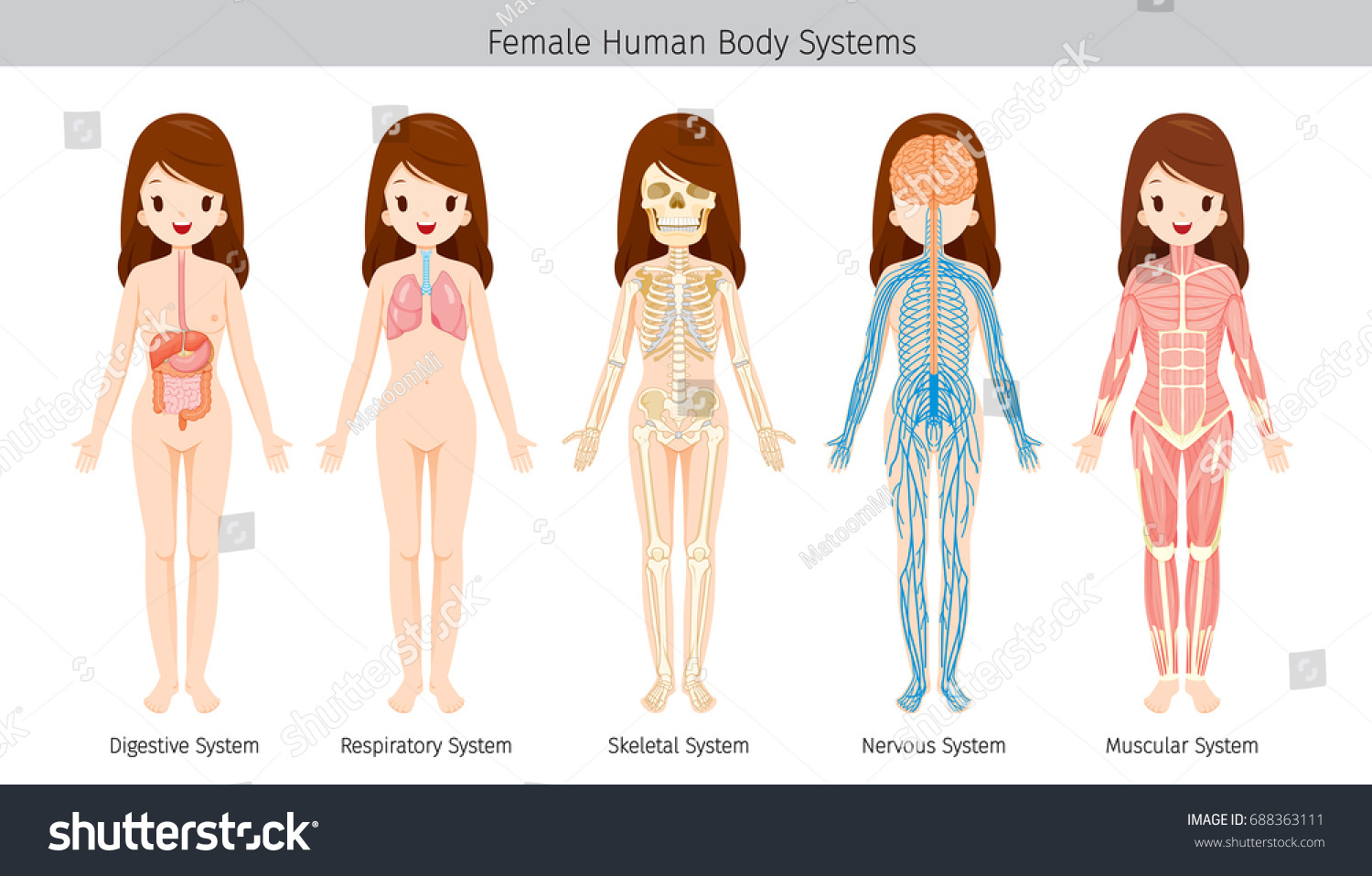 Female Human Anatomy Body Systems Physiology Stock Vector (Royalty ...