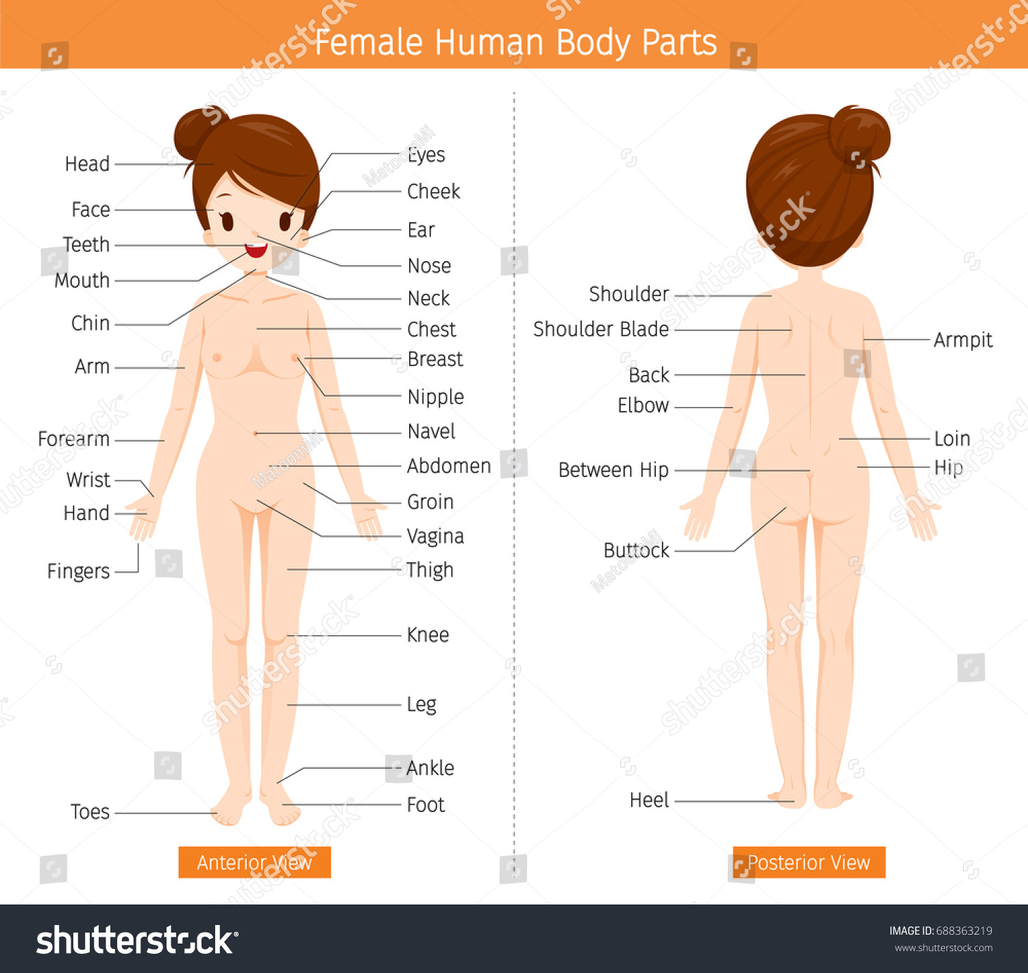 Female Human Anatomy External Organs Body Stock Vector (Royalty Free ...