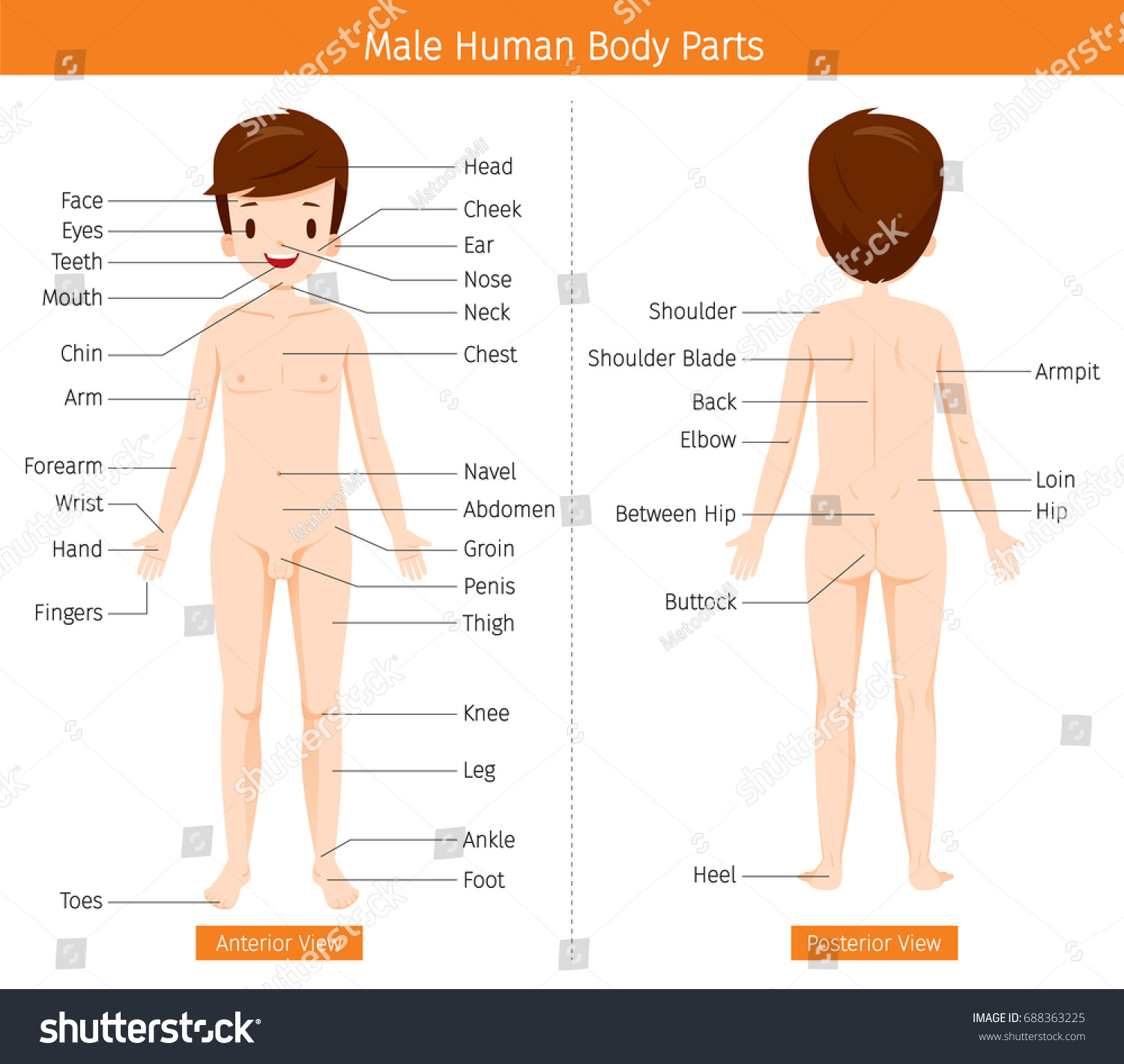 Male Human Anatomy External Organs Body Stock Vector Royalty Free