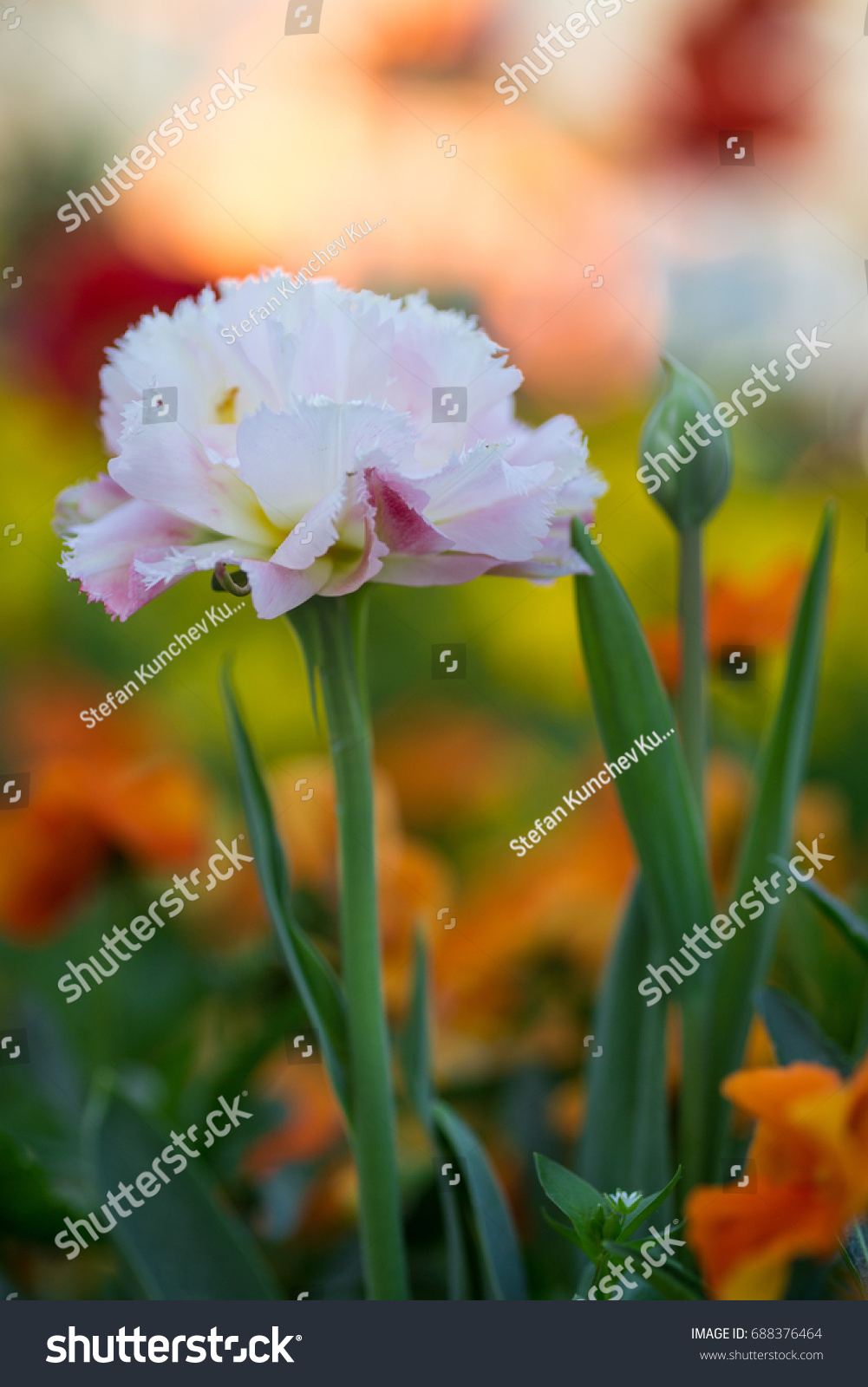 Garden Spring Flowers Beautiful Pink Tulip Stock Photo (Royalty Free ...