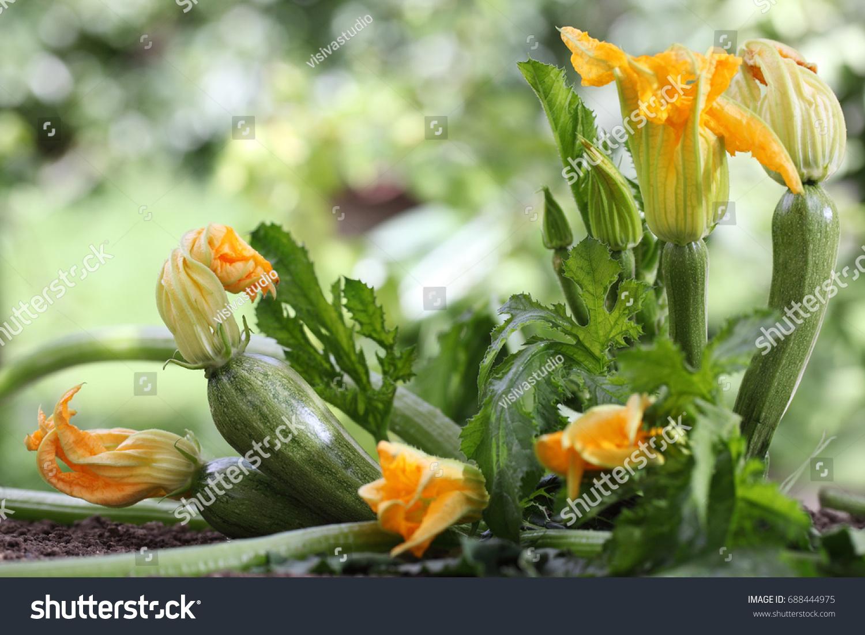 Zucchini Flowers Plant In Vegetable Garden Growing