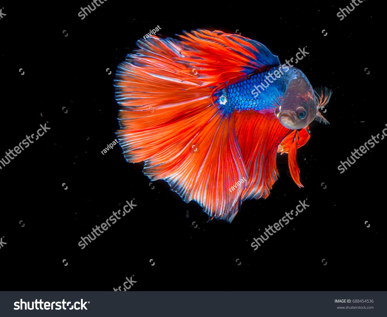 Fighting Fish Colorful Betta Fish Siamese Fighting Fish Stock Photo ...