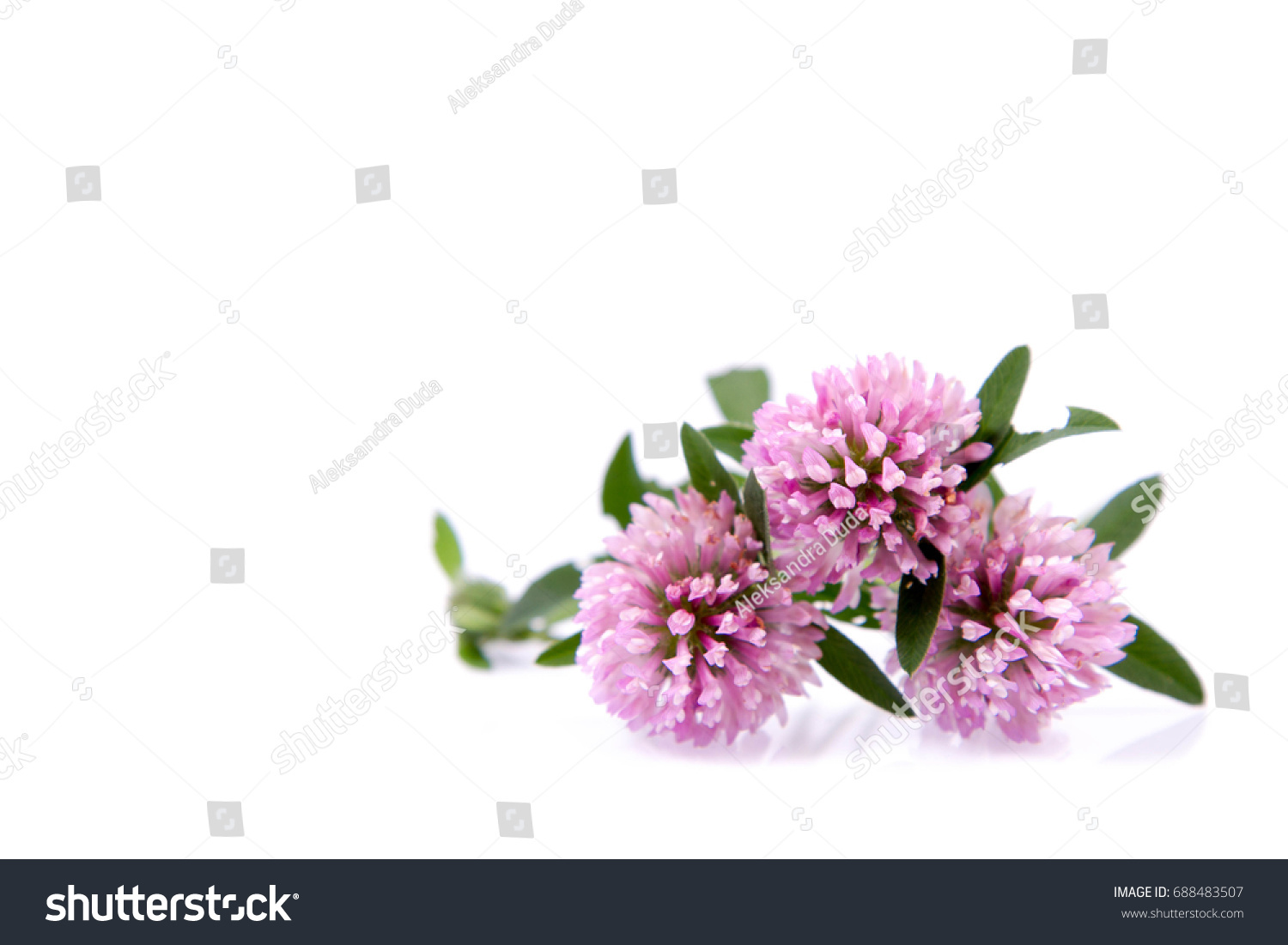 Pink Clover Flowers On A White Background Ez Canvas